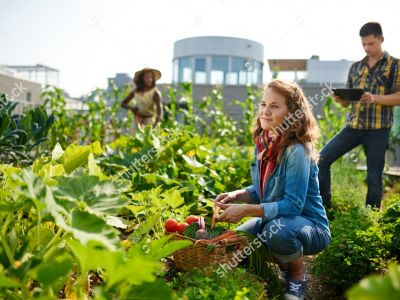 Stock Photo Friendly Team Harvesting Fresh Vegetables From The Rooftop Greenhouse Garden And Planning Harvest 402894571